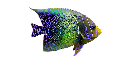 47-471737_tropical-fish-png-exotic-fish-