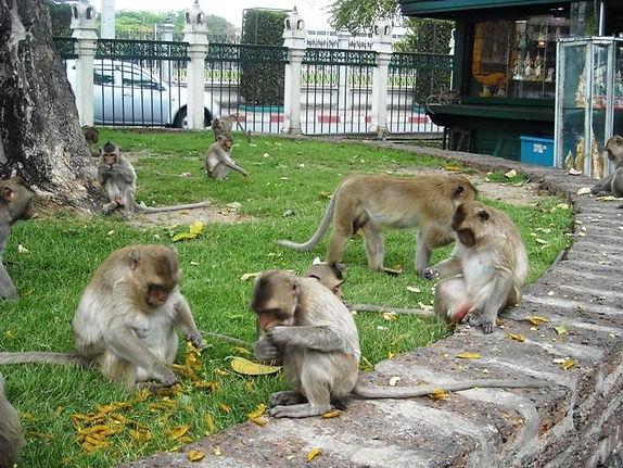 เที่ยวลพบุรี ดูลิงลพบุรี