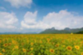 ทุ่งดอกทานตะวัน ลพบุรี