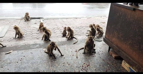 สมทบทุนซื้ออาหารให้ลิงลพบุรี