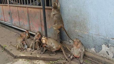 ลิงลพบุรี