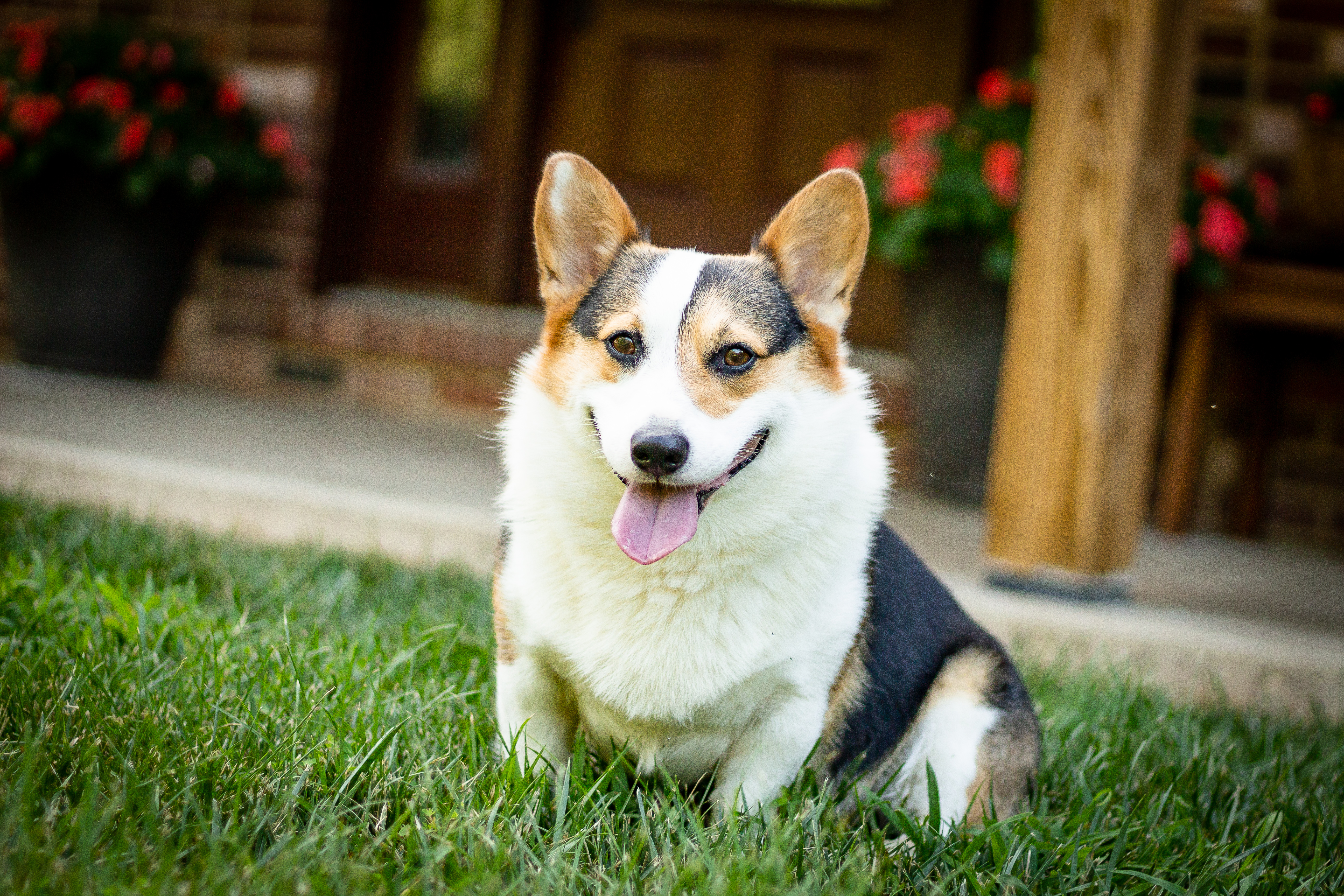 AKC Registered Corgi puppies for sale  Missouri Hope Lane Corgis