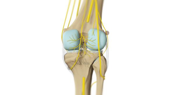 Knee Innervation