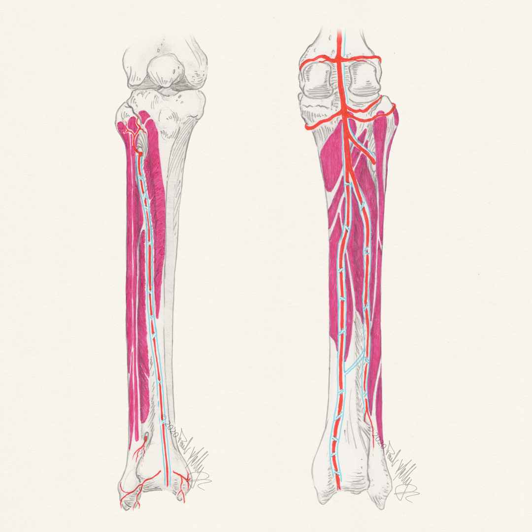 Lower leg anatomy sketch