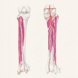 Lower leg anatomy sketch