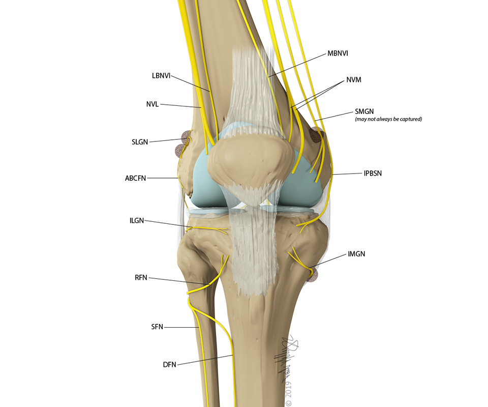 Knee Nerves anterior view