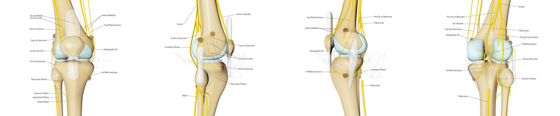 Knee Innervation spread 3