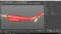 ENT_fibula_3Dprocess_Muscles_02