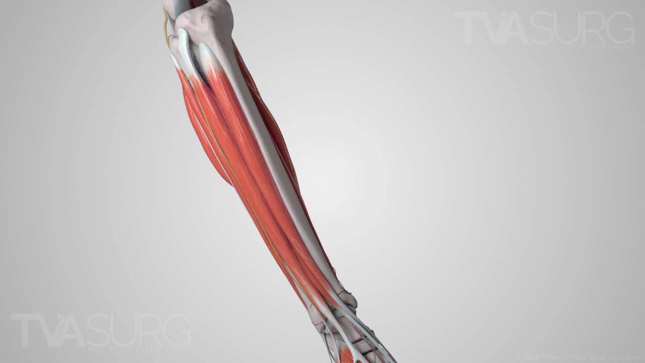 ENT lower leg anatomy