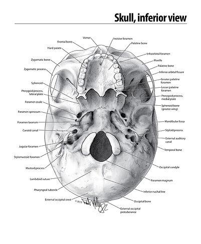 skullbase_labels_04.jpg