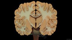 PK_BrainFrCrsSxn