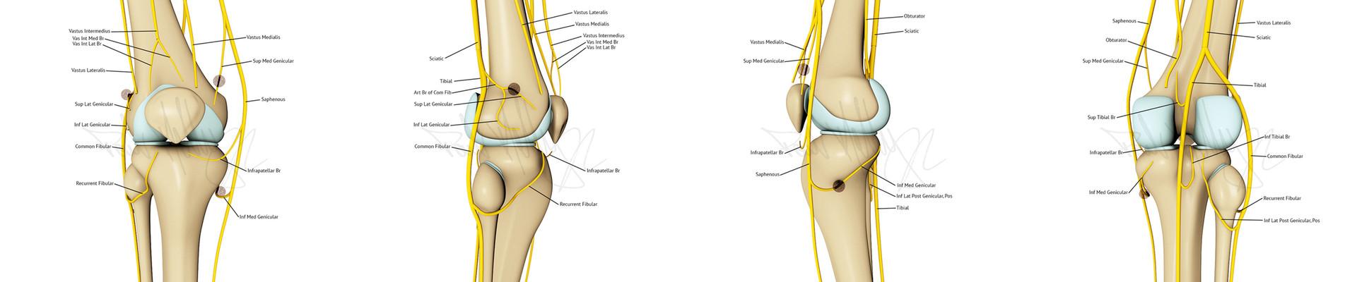 Knee Innervation spread 1