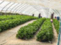 Erdbeeren_selberpfluecken_2020