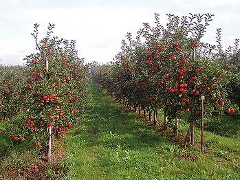 Die Apfelplantagen der Obstanlagen Mönchhof, Burscheid sind reif für die Apfelernte
