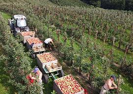Apfelernte in den Obstanlagen Mönchhof, Burscheid