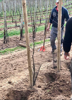Apfelbäume pflanzen - Obstanlagen Mönchh