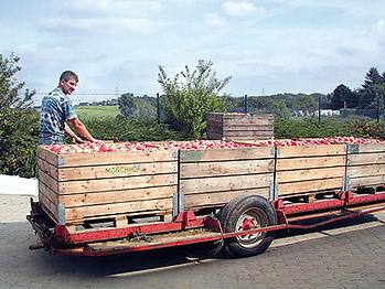 Apfelernte auf den ObstanlagenMönchhof im bergischen Land