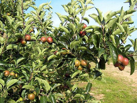 bergisch-pur-apfelplantage-bp.jpg