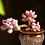 Thumbnail: SU079    桃之卵 Graptopetalum Amethystinum