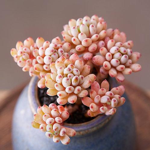 SU0100 | Graptopetalum pachyphyllum Rose | Multiple heads | Minigarden