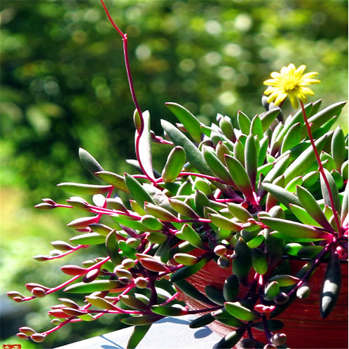 SU007 | 紫玄月 Othonna capensis