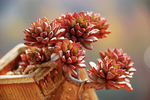 SU0103 | Echeveria Darley Dale | Multiple heads | Minigarden