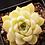 Thumbnail: SU033 | Echeveria Ice | minigarden | Jelly color