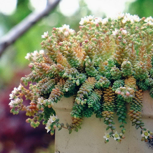 SU027 |  Sedum dasyphyllum 'Major'