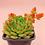 Thumbnail: SU0126 | Echeveia 'Duoduo' | Minigarden