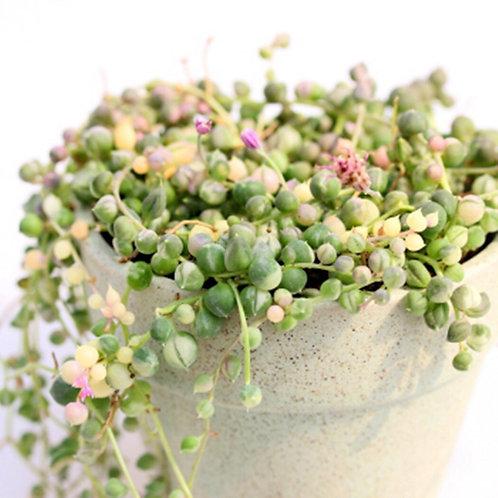 SU0117 | Senecio Rowleyanus variegata | Variegated String  |  Minigarden