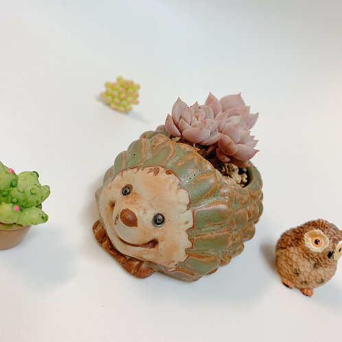 swp0017 |  Graptoveria Tituban with hedgehog shaped pot |白牡丹