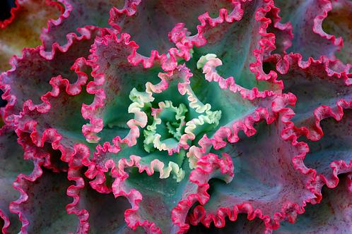 SU0116 | Echeveria Dicks Pink |  Minigarden