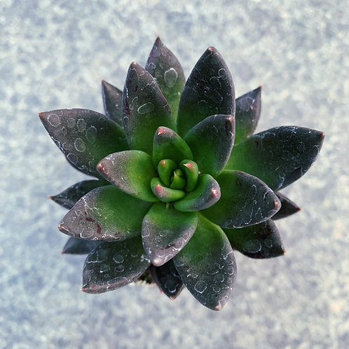 SU068 | 黑骑士  Echeveria Black Knight