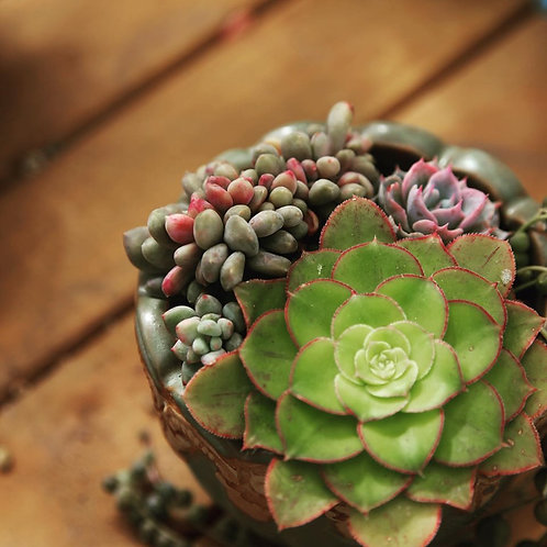 swp0019 |  Succulents with  pot
