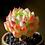 Thumbnail: SU001   米亚马卡蒂 Echeveria Macadamia