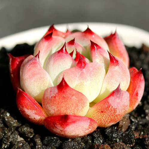 SU0105 |Echeveria cv 'Momotarou' | Minigarden