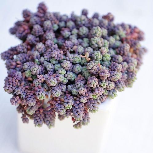 SU027 |   姬星美人 Sedum dasyphyllum