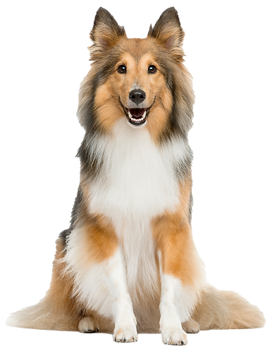 shetland-sheepdog-sitting-front-white-wa