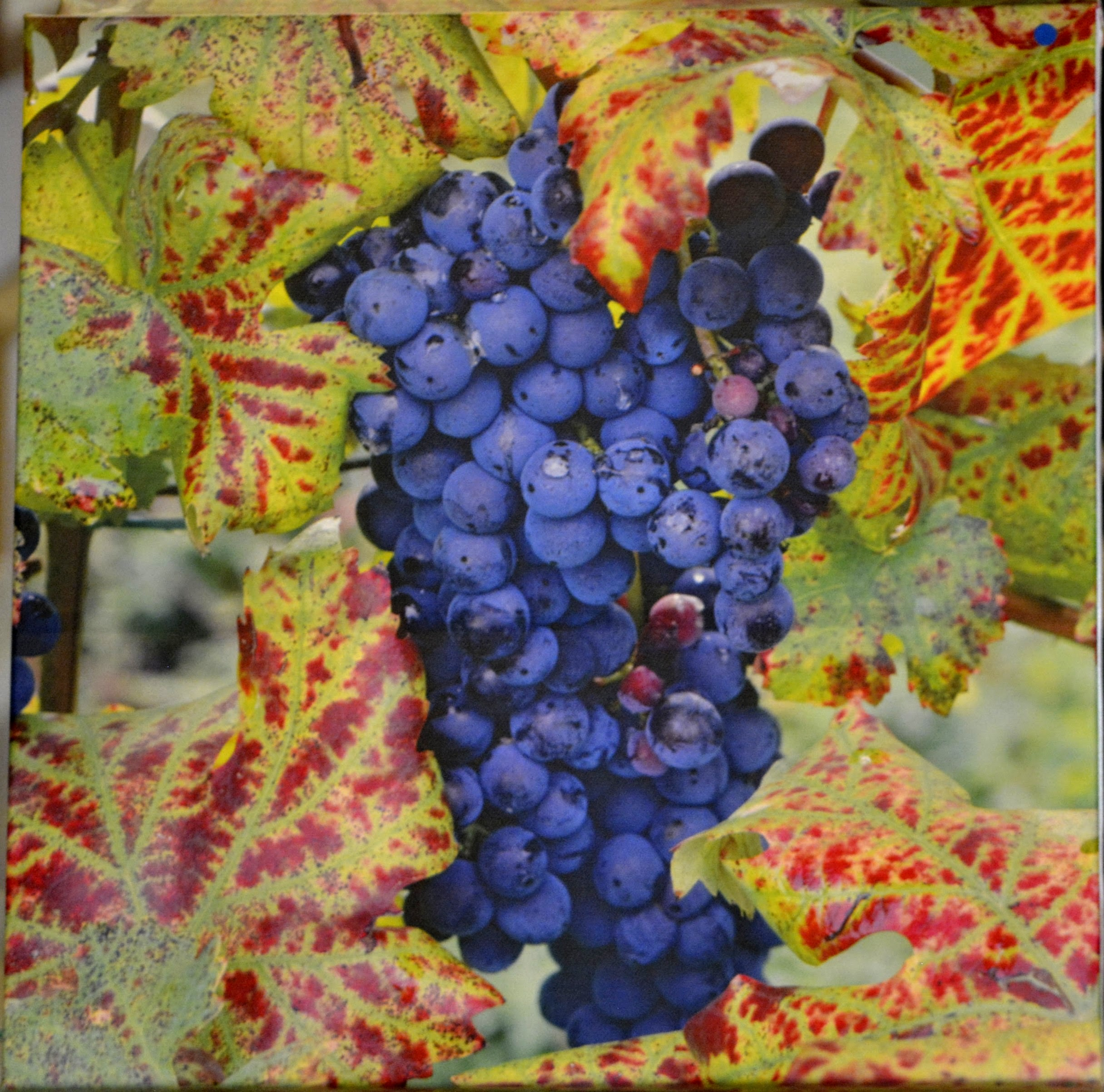 "Grapes 12"" x 12"" by Tom Mackie"