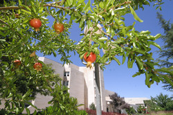 Pomegranate_IMG_4401_photo_by_Sasson_Tir