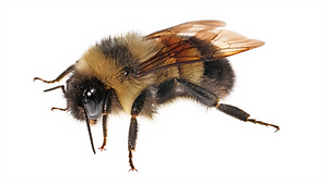 HPC Carpenter Bees.png