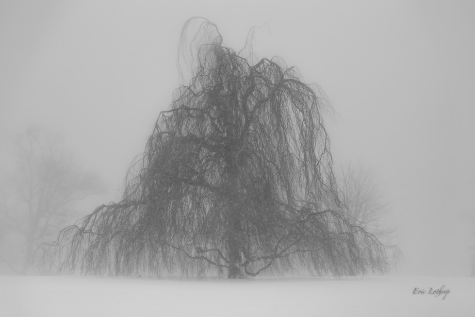 Weeping European Beech Tree in Newport During Winter