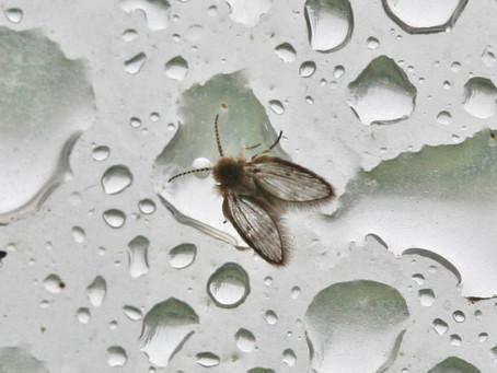 Drain Flies Typical Breeding Sites