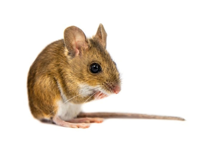HPC Deer Mice white background.jpg