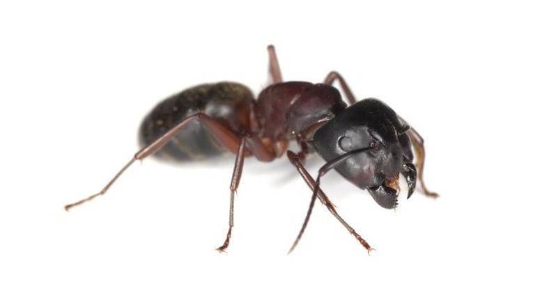 Carpenter ants White backgroun.jpeg
