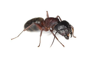 HPC Carpenter Ant.jpg