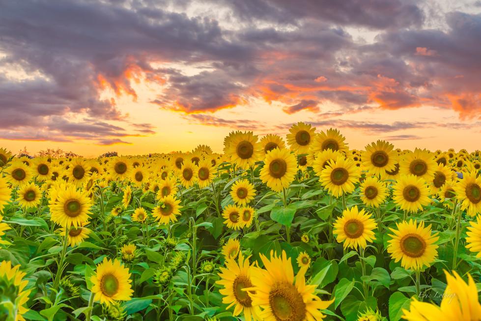 Sunflower Field Sunset