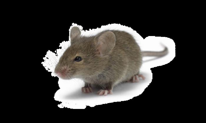 HPC-House-Mice.png