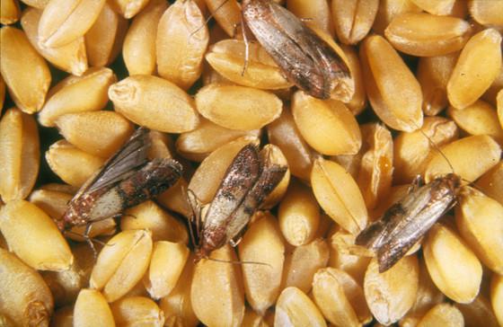Corn Pest