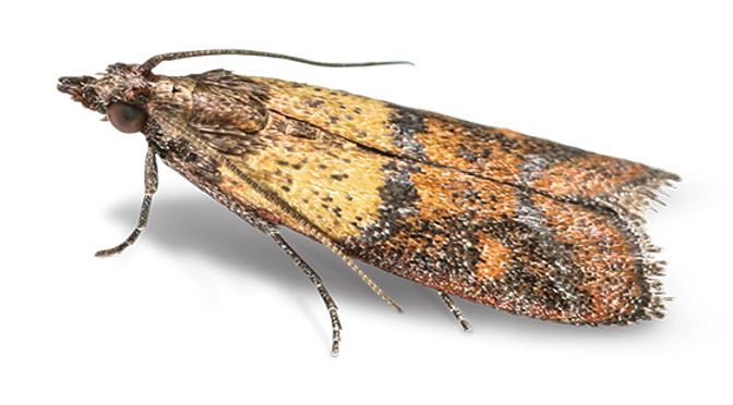 indian meal moth.png